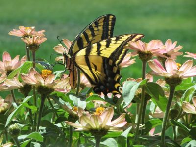 Yellow Swallowtail Feast