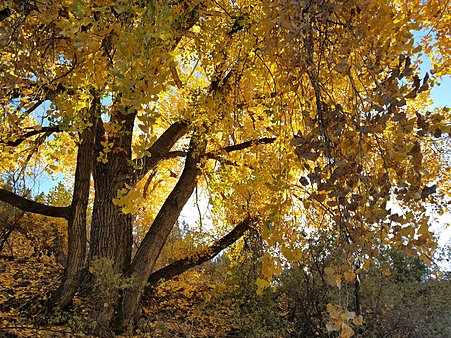 Cottonwoods Show their Brilliant Fall Colors