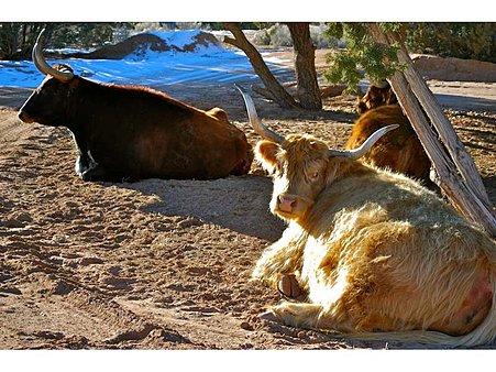 Resident cattle